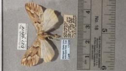Caripeta aequaliaria image