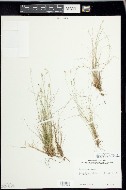 Carex eburnea image