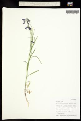 Image of Mertensia fusiformis