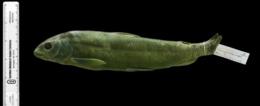 Prosopium williamsoni image