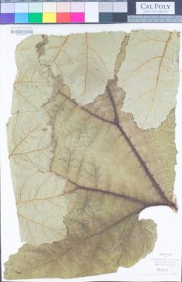 Gunnera chilensis image