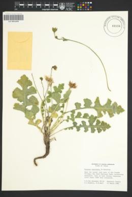 Image of Acourtia runcinata
