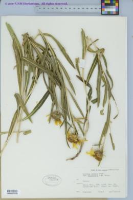 Scabrethia scabra image