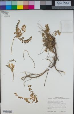 Image of Astragalus leucocephalus