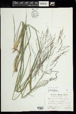 Image of Sporobolus buckleyi