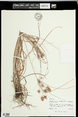 Image of Cyperus floribundus