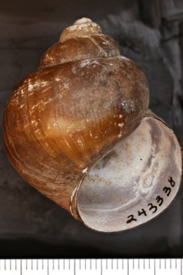 Image of Viviparus georgianus