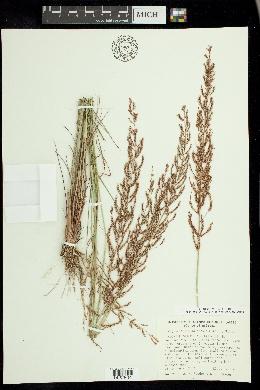 Image of Pogonarthria squarrosa