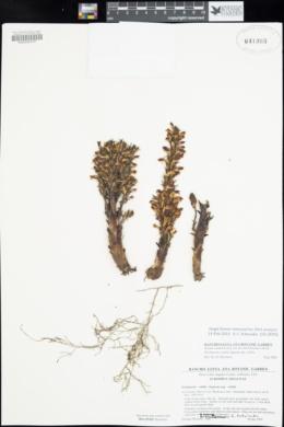 Aphyllon validum subsp. validum image
