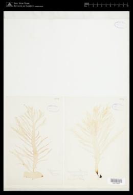 Halymenia floresii image