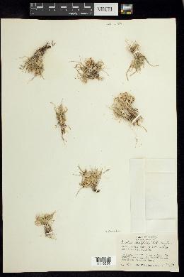 Bouteloua dactyloides image