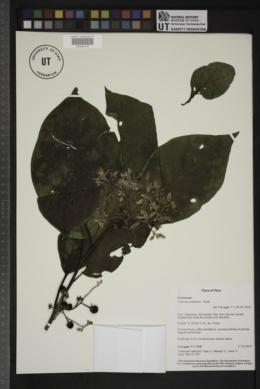 Solanum ovalifolium image