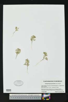 Schistophragma intermedia image