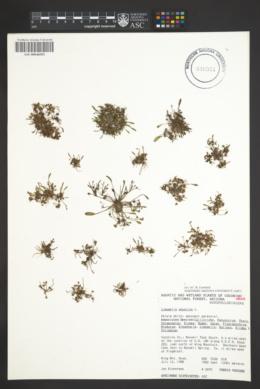 Limosella aquatica image