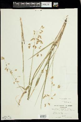 Hierochloe odorata image