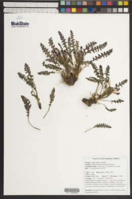 Pedicularis centranthera image