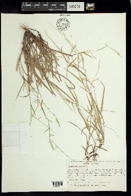 Image of Hilaria hintonii
