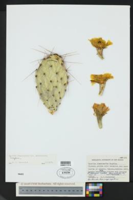 Opuntia phaeacantha var. phaeacantha image