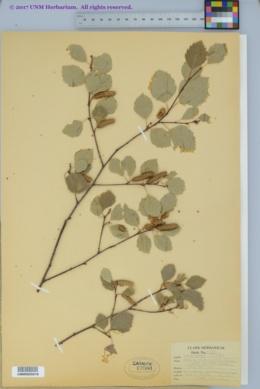 Image of Betula microphylla