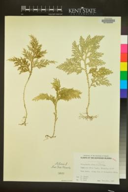 Selaginella arbuscula image