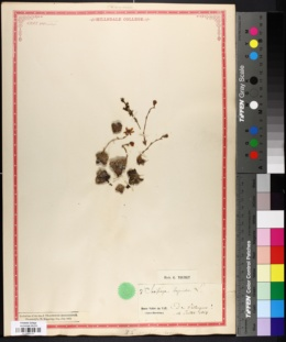 Image of Saxifraga bryoides