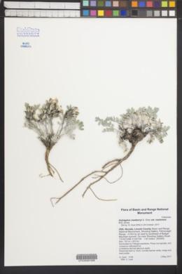 Astragalus newberryi image