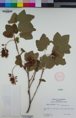 Image of Ribes laxiflorum