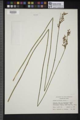 Juncus balticus image