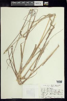 Eragrostis spicata image