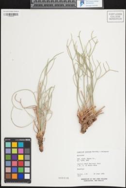 Image of Lomatium junceum