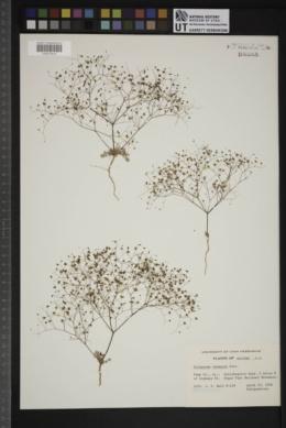 Eriogonum thomasii image