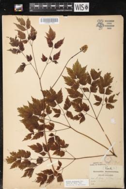 Actaea pachypoda image