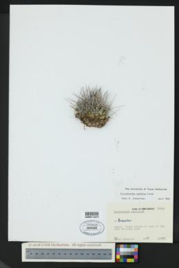 Image of Coryphantha ramillosa