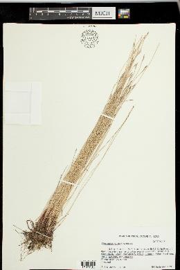 Image of Eleocharis cylindrica