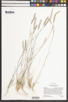 Lycurus phleoides image
