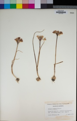 Allium crispum image
