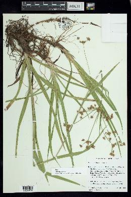 Image of Scirpus diffusus