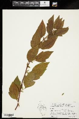 Image of Malus x atrosanguinea