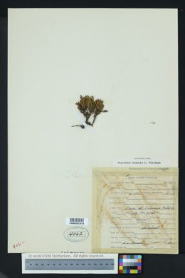 Image of Penstemon acaulis