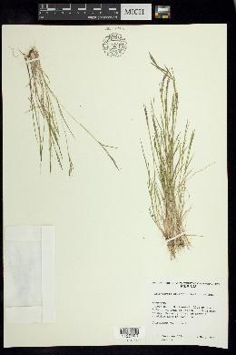 Muhlenbergia strictior image