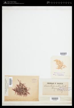Lomentaria articulata image