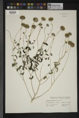 Encelia frutescens image