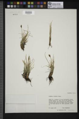Kobresia sibirica image