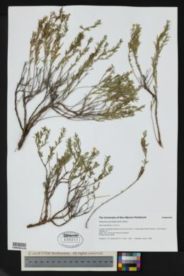 Oenothera serrulata image