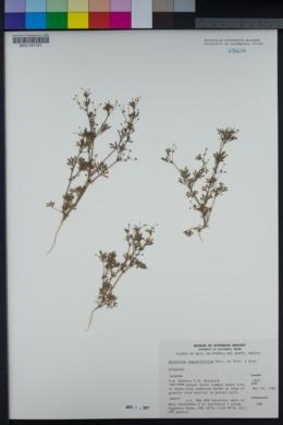 Apiastrum angustifolium image