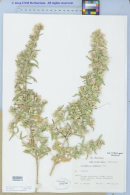 Brickellia lemmonii image