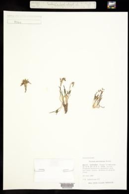 Phemeranthus marginatus image