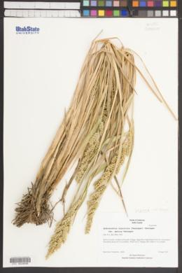 Echinochloa oryzicola image
