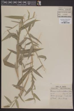 Panicum mattamuskeetense image