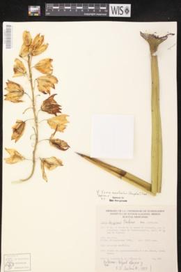 Image of Yucca decipiens